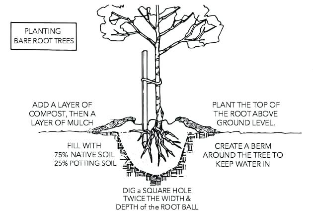 How to Plant Bare Root Trees and Shubs