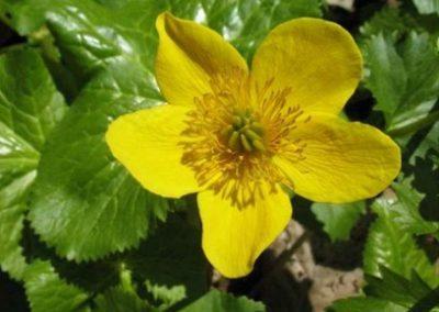 marshmarigold1